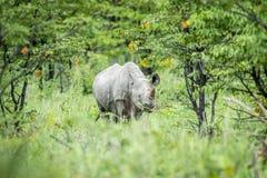 Schwarzes Nashorn, das an der Kamera die Hauptrolle spielt Lizenzfreies Stockfoto