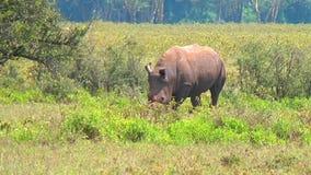 Schwarzes Nashorn, das Gras isst stock video