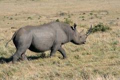 Schwarzes Nashorn, das vorbei überschreitet Lizenzfreie Stockbilder