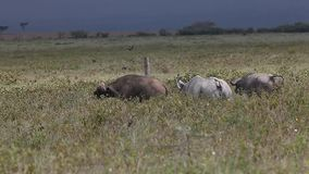 Schwarzes Nashorn, Diceros bicornis, Erwachsen-beunruhigende Büffel, Nakuru Park in Kenia, stock footage