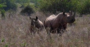 Schwarzes Nashorn, Diceros bicornis, weiblich mit Kalb, Masai Mara Park in Kenia, stock video