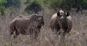 Schwarzes Nashorn, Diceros bicornis, weiblich mit Kalb, Masai Mara Park in Kenia, stock footage