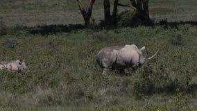 Schwarzes Nashorn, Diceros bicornis, weiblich mit Kalb, Nakuru Park in Kenia, stock video
