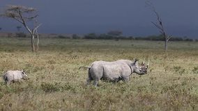 Schwarzes Nashorn, Diceros bicornis, weiblich mit Kalb, Nakuru Park in Kenia, stock video footage