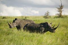 Schwarzes Nashorn im grünen Gras der Erhaltung Lewa-wild lebender Tiere, Nord-Kenia, Afrika lizenzfreie stockfotografie