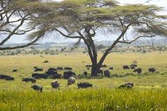Schwarzes Nashorn, Kap-Büffel und wilde Tiere, die unter Akazienbaum in Lewa-Erhaltung, Kenia Afrika weiden lassen Stockfotografie