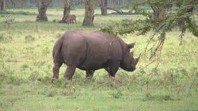 Schwarzes Nashorn markiert sein Gebiet mit Urin stock footage