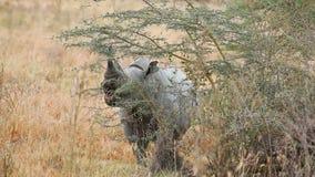 Schwarzes Nashorn in Nakuru Park stock video