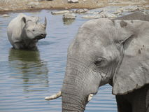 Schwarzes Nashorn u. Elefant Stockfotografie