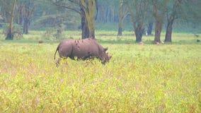Schwarzes Nashorngehen stock footage