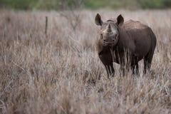 Schwarzes Nashornschauen Lizenzfreie Stockfotografie