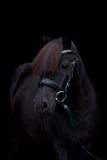 Schwarzes nettes Ponyporträt auf schwarzem Hintergrund Stockfotos