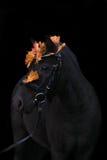 Schwarzes nettes Ponyporträt mit Herbstlaub Stockfotos