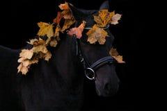 Schwarzes nettes Ponyporträt mit Herbstlaub Stockfotografie