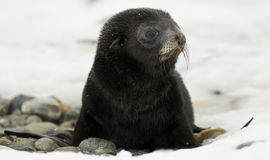 Schwarzes Pelz-Robbenbaby im Schnee Lizenzfreie Stockfotos