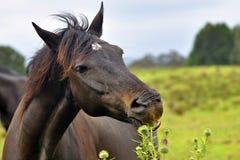 Schwarzes Pferd Stockbilder