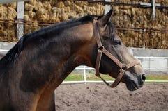 Schwarzes Pferd Stockfoto
