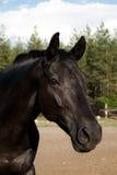 Schwarzes Pferd Lizenzfreies Stockfoto