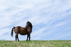 Schwarzes Pferd auf der Wiese. Stockfoto