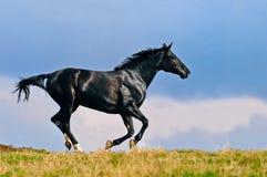 Schwarzes Pferd, das auf dem Gebiet galoppiert Stockfotos