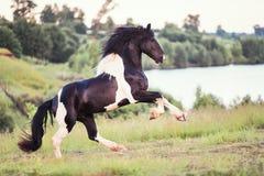 Schwarzes Pferd, das auf dem Gebiet galoppiert Lizenzfreie Stockfotografie