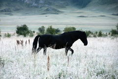 Schwarzes Pferd in der weißen Steppe Stockfotografie
