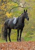 Schwarzes Pferd des Dressage im Holz Lizenzfreie Stockfotografie