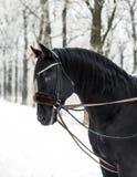Schwarzes Pferd im Winter lizenzfreie stockbilder