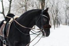 Schwarzes Pferd im Winter Stockbild
