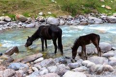 Schwarzes Pferd und sein Fohlen Lizenzfreies Stockfoto