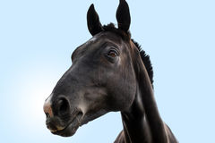 Schwarzes Pferdenkopfportrait Stockbilder