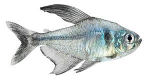 Schwarzes Phantomtetra- (Hyphessobrycon megalopterus) Lizenzfreie Stockbilder