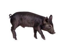 Schwarzes piggy lokalisiert auf Weiß Lizenzfreie Stockfotos