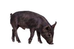 Schwarzes piggy lokalisiert auf Weiß Stockbilder