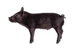Schwarzes piggy lokalisiert auf Weiß Stockfoto
