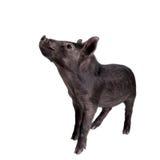 Schwarzes piggy lokalisiert auf Weiß Lizenzfreie Stockbilder