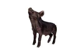 Schwarzes piggy lokalisiert auf Weiß Lizenzfreie Stockfotografie