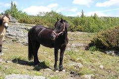 Schwarzes Pony auf einem Feld Stockfotografie