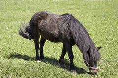 Schwarzes Pony isst Wiese des grünen Grases lizenzfreies stockbild
