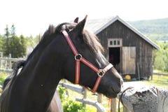 Schwarzes Pony/Pferdeportrait Stockfotografie