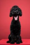 Schwarzes Pudelporträt im roten Hintergrund Lizenzfreie Stockfotos