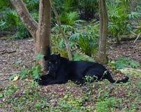 Schwarzes Puma Lizenzfreie Stockbilder