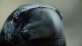 Schwarzes Rabenaugen- und -schnabelmakro Krähe, die gerade Kamera untersucht stock video