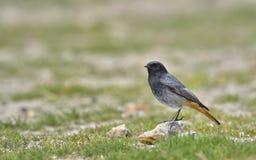 Schwarzes Redstart, Phoenicurus ochruros Stockfotografie