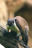 Schwarzes riesiges Eichhörnchen Stockbild