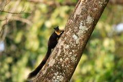 Schwarzes riesiges Eichhörnchen Lizenzfreie Stockbilder