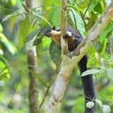 Schwarzes riesiges Eichhörnchen Lizenzfreies Stockfoto