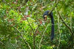 Schwarzes riesiges Eichhörnchen genießen, Wildfrüchte zu essen ist reif lizenzfreie stockbilder