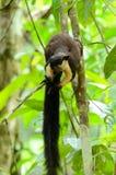 Schwarzes riesiges Eichhörnchen (Ratufa zweifarbig) Lizenzfreie Stockfotos