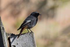 Schwarzes Rotschwänzchen (Phoenicurus ochruros) - männlicher Vogel Lizenzfreies Stockbild